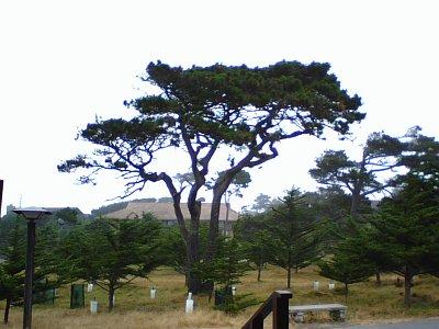 Asilomar Tree