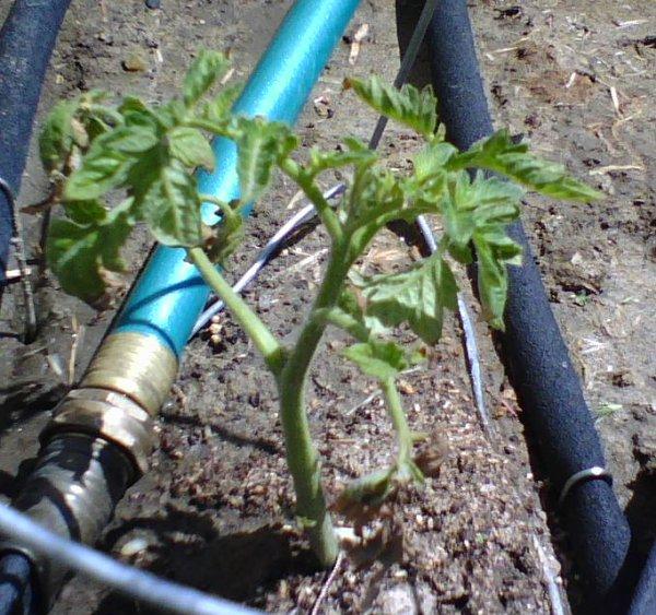 Triffid Tomato