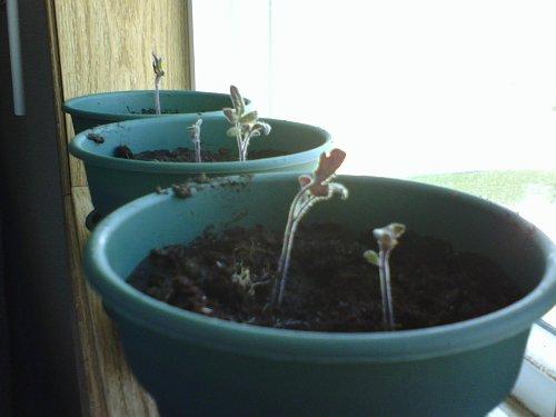 One Dollar Tomato Plants