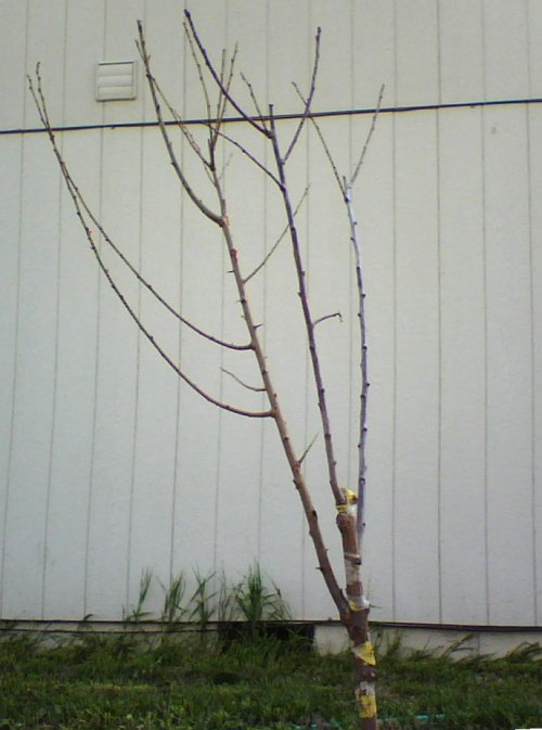 Grafted Plum Tree