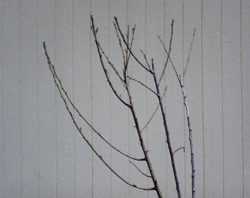 Grafted Plum