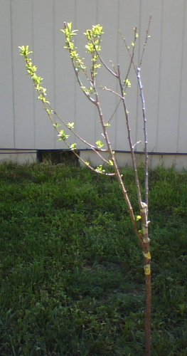 Grafted Plum in context