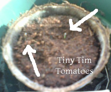 Tiny Tim Tomatoes