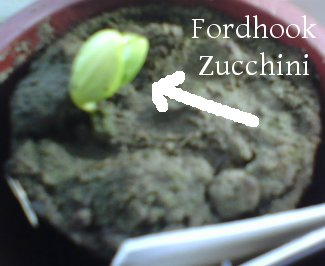 Fordhook Zucchini