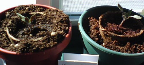 Triffids (Moneymaker tomatoes)