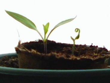 Yolo Wonder Pepper Seedlings