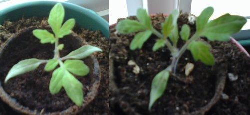 Moneymaker Tomatoes aka Triffids