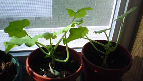 Fordhook Zucchini Seedlings